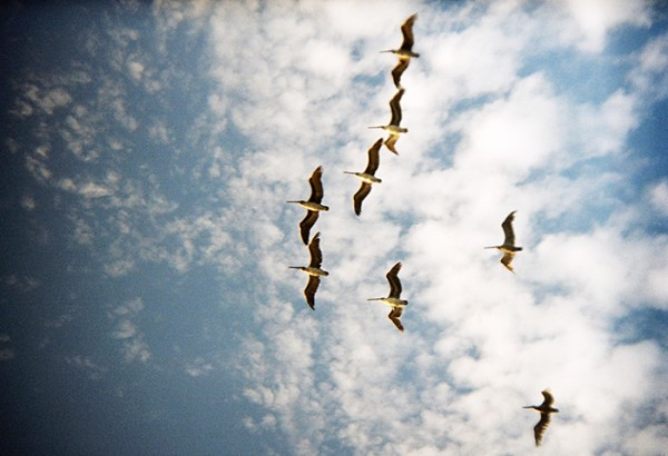 Pelicans flying in formation overhead.