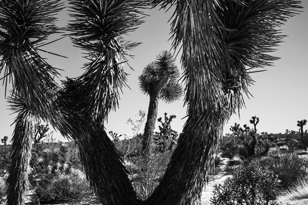 The story goes, Mormon pioneers thought the limbs of the Joshua Tree looked like the outstretched arms of Joshua leading them to the promised land. That's how the tree got it's name.