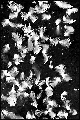 Seagull feathers, San Lorenzo River