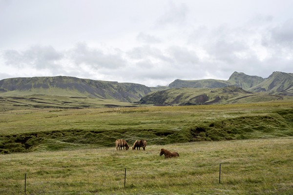Icelandic horses (don't call them ponies) are a breed developed in Iceland from ponies brought by Norse settlers.